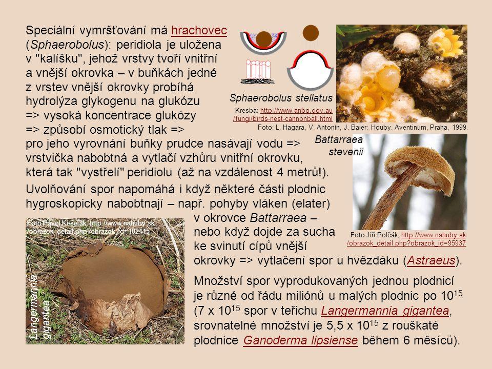 Speciální vymršťování má hrachovechrachovec (Sphaerobolus): peridiola je uložena v