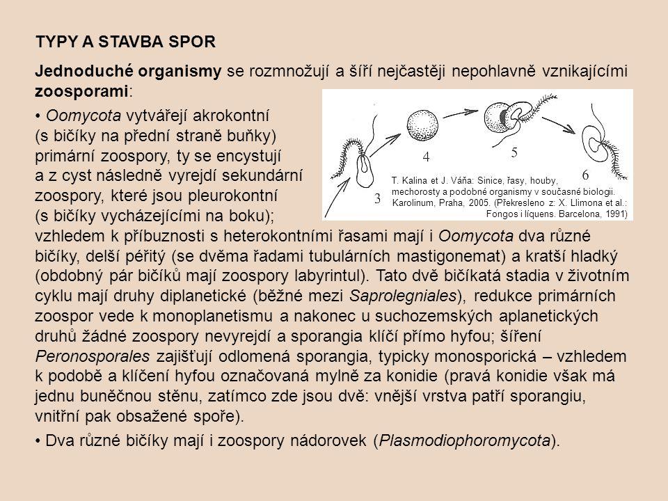 TYPY A STAVBA SPOR Jednoduché organismy se rozmnožují a šíří nejčastěji nepohlavně vznikajícími zoosporami: Oomycota vytvářejí akrokontní (s bičíky na