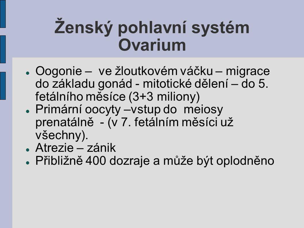 Ženský pohlavní systém Ovarium Oogonie – ve žloutkovém váčku – migrace do základu gonád - mitotické dělení – do 5. fetálního měsíce (3+3 miliony) Prim