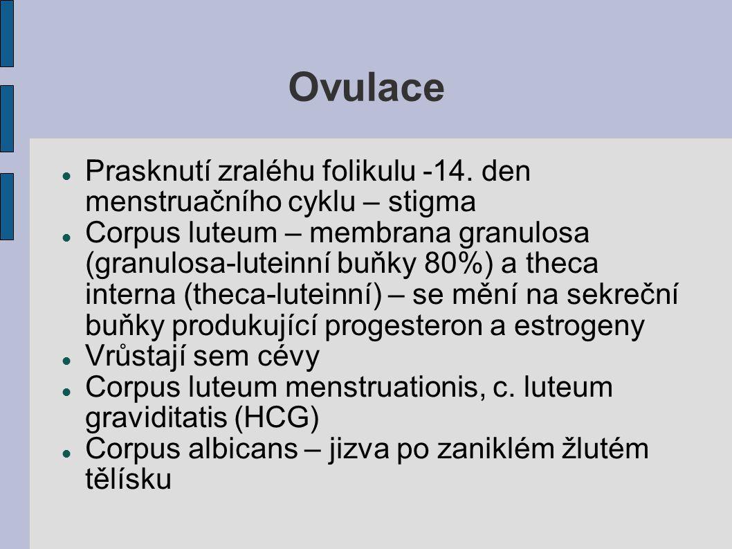 Ovulace Prasknutí zraléhu folikulu -14. den menstruačního cyklu – stigma Corpus luteum – membrana granulosa (granulosa-luteinní buňky 80%) a theca int