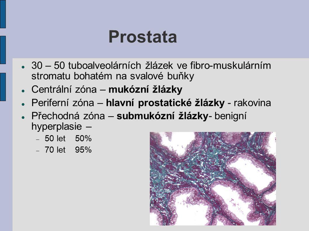 Prostata 30 – 50 tuboalveolárních žlázek ve fibro-muskulárním stromatu bohatém na svalové buňky Centrální zóna – mukózní žlázky Periferní zóna – hlavn