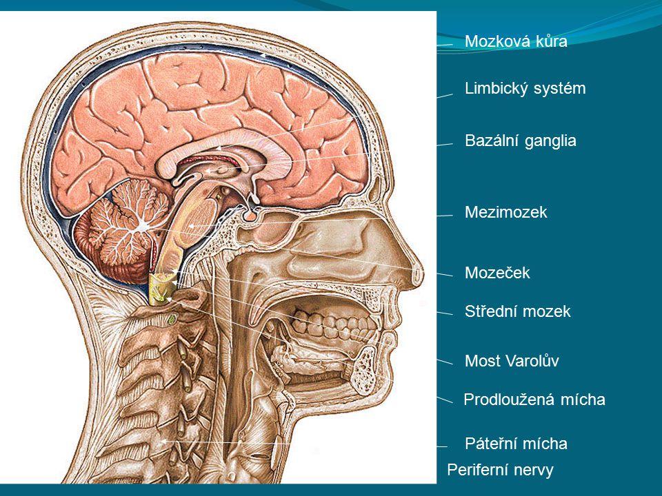 Mozková kůra Limbický systém Bazální ganglia Mezimozek Mozeček Střední mozek Most Varolův Prodloužená mícha Páteřní mícha Periferní nervy