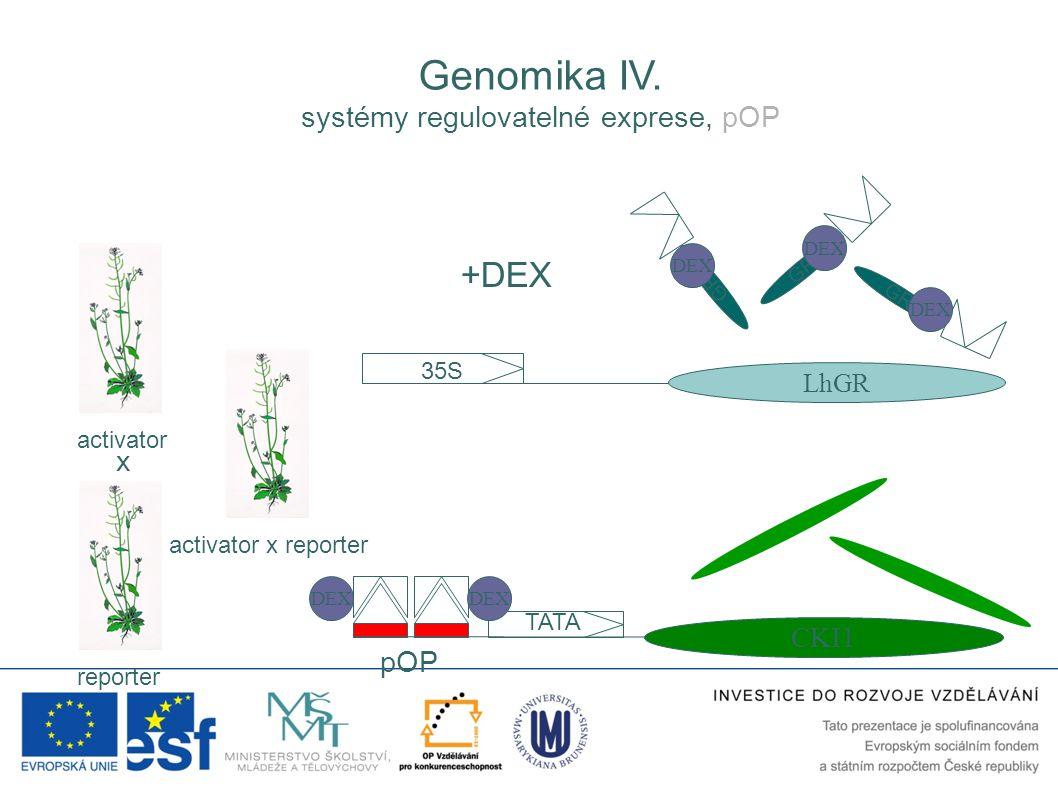 GR 35S LhGR pOP TATA CKI1 activator reporter activator x reporter DEX +DEX DEX x Genomika IV. systémy regulovatelné exprese, pOP