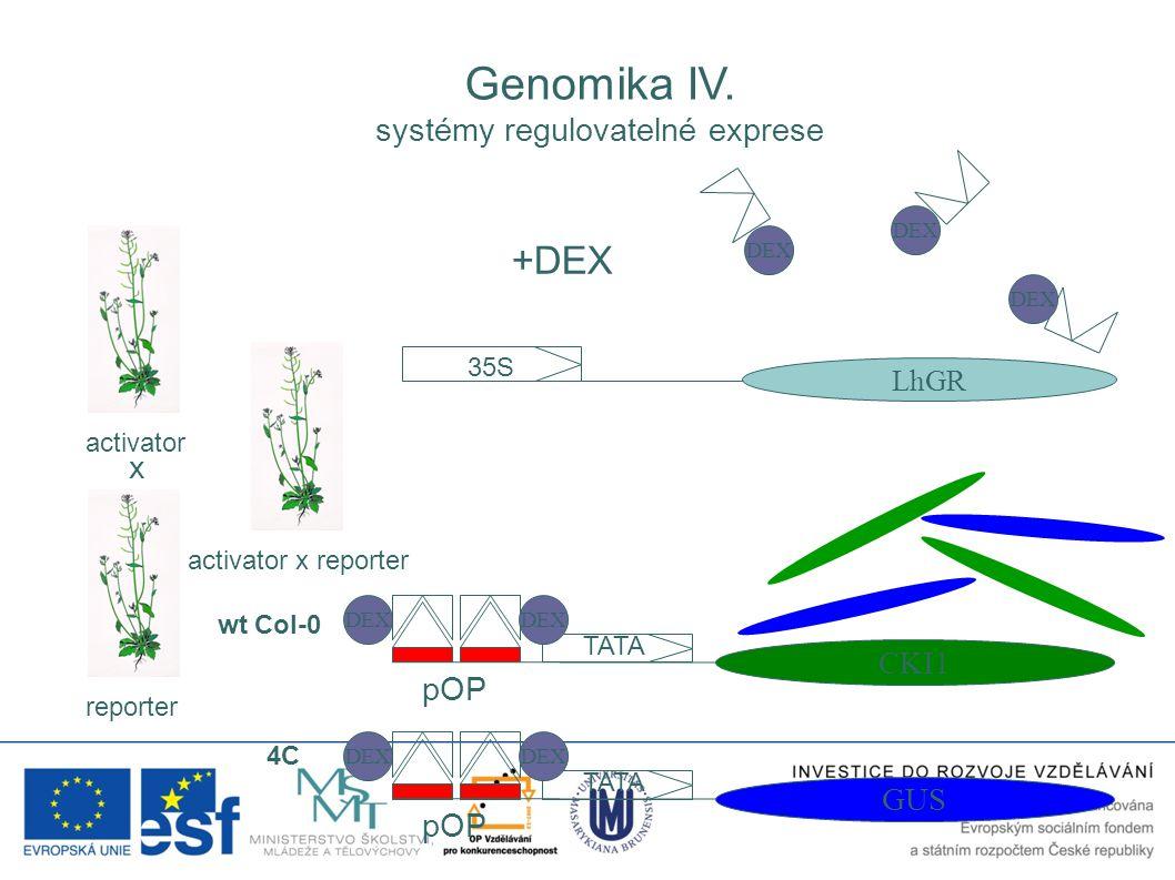 35S LhGR pOP TATA CKI1 activator reporter activator x reporter DEX +DEX DEX x pOP TATA GUS DEX wt Col-0 4C Genomika IV. systémy regulovatelné exprese