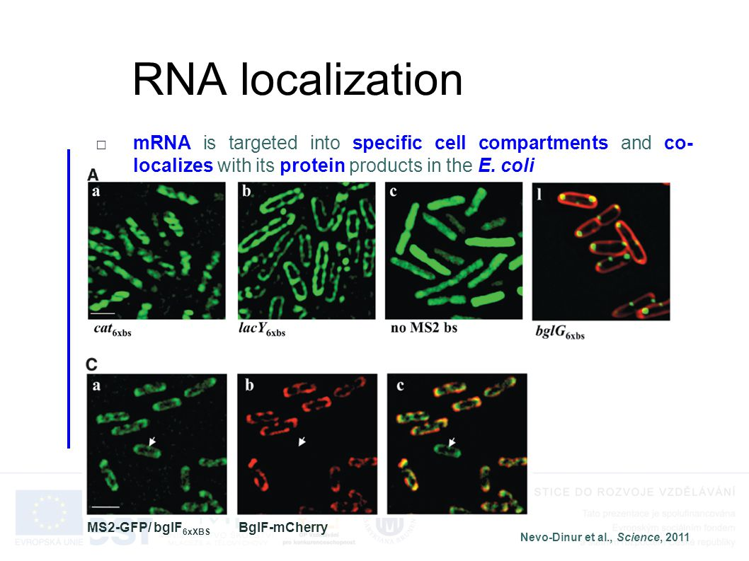 RNA localization □mRNA is targeted into specific cell compartments and co- localizes with its protein products in the E. coli Nevo-Dinur et al., Scien