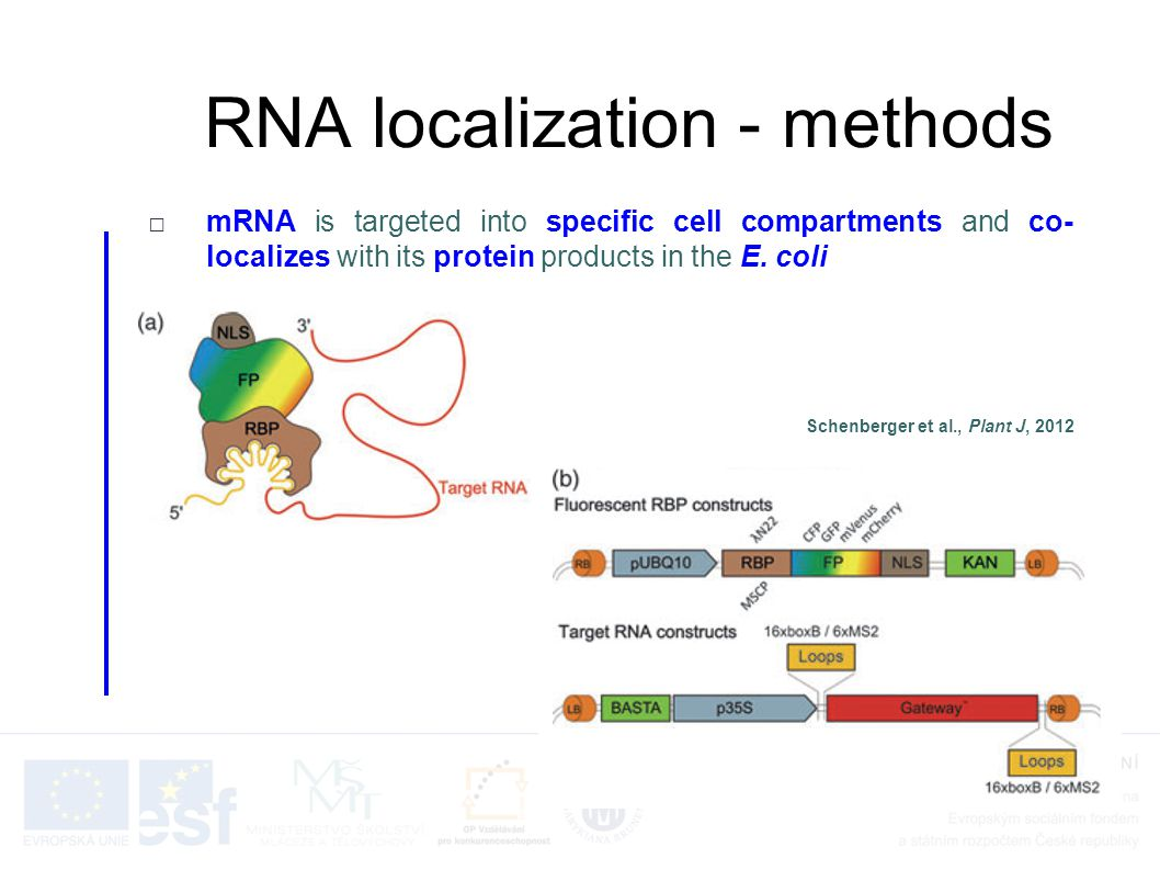 RNA localization - methods □mRNA is targeted into specific cell compartments and co- localizes with its protein products in the E. coli Schenberger et
