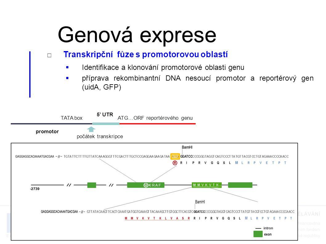□Transkripční fůze s promotorovou oblastí  Identifikace a klonování promotorové oblasti genu  příprava rekombinantní DNA nesoucí promotor a reportérový gen (uidA, GFP)  příprava transgenních organismů nesoucích tuto rekombinantní DNA a jejich histologická analýza Genová exprese