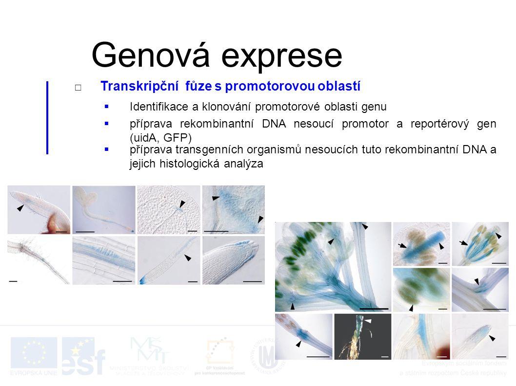 □Transkripční fůze s promotorovou oblastí  Identifikace a klonování promotorové oblasti genu  příprava rekombinantní DNA nesoucí promotor a reportér