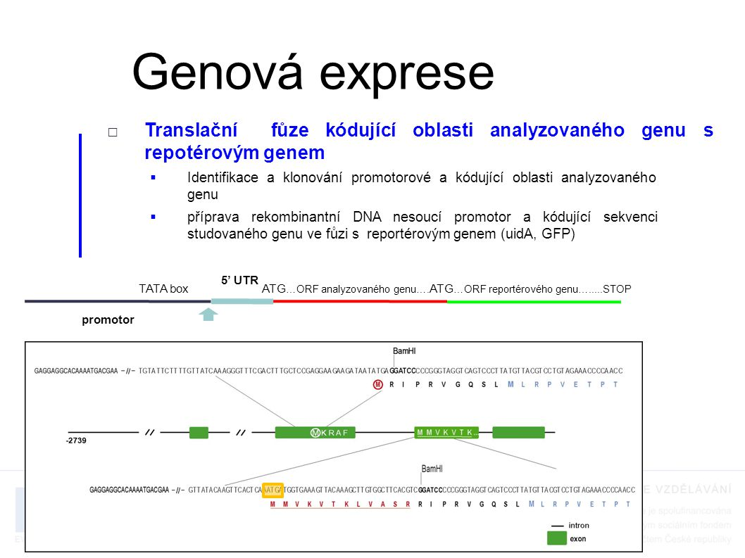 □Translační fůze kódující oblasti analyzovaného genu s repotérovým genem  příprava transgenních organismů nesoucích tuto rekombinantní DNA a jejich histologická analýza  oproti transkripční fůzi umožńuje analyzovat např.