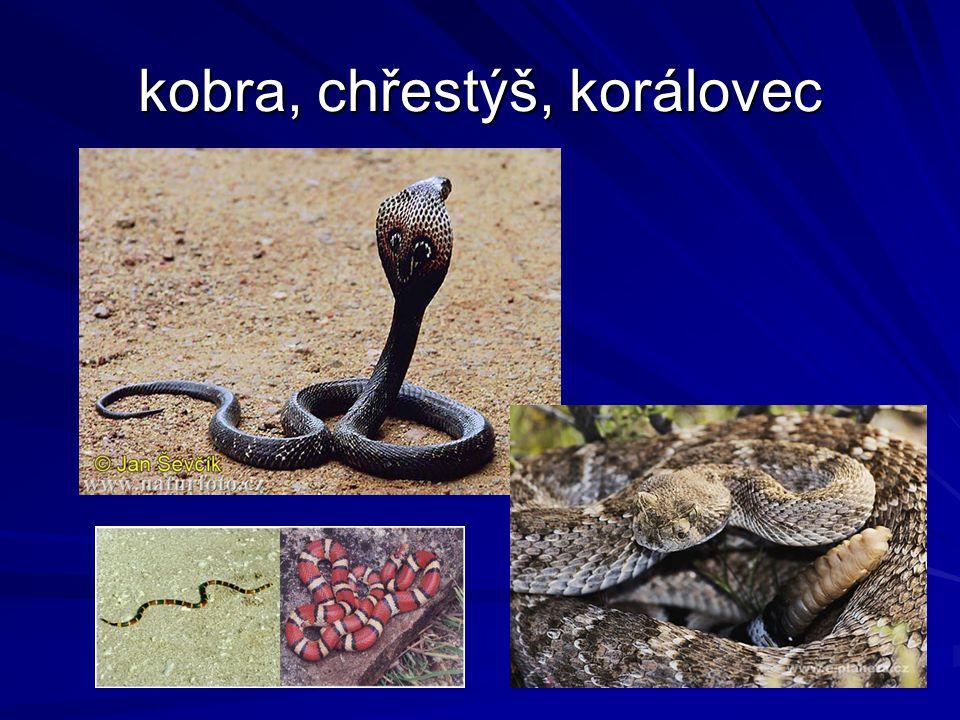 kobra, chřestýš, korálovec