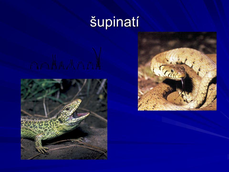 Šupinatí – ještěři a hadi Šupiny, svlékání kůže Rozeklaný jazyk Jacobsonův orgán – vnímání pachů, v tlamě