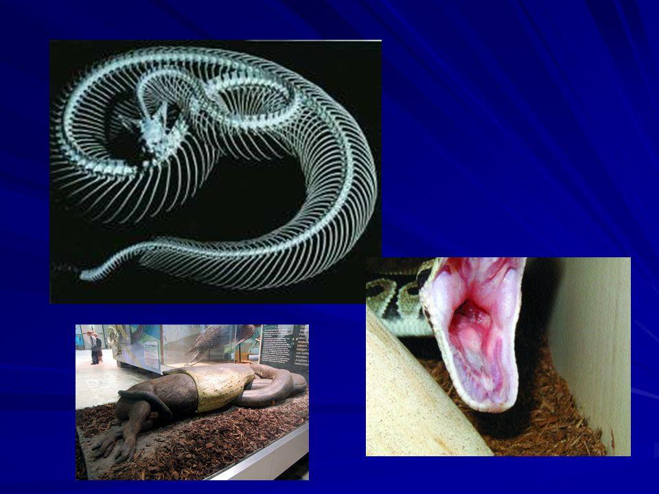 –Zástupci: Naši: užovky, zmije užovka zmije užovka zmijeHlavaZornice Zvláštní znak Délka těla Cizokrajní: –Jedovatí: kobra, chřestýš, zmije, korálovci –Škrtiči: anakonda, hroznýš, krajta