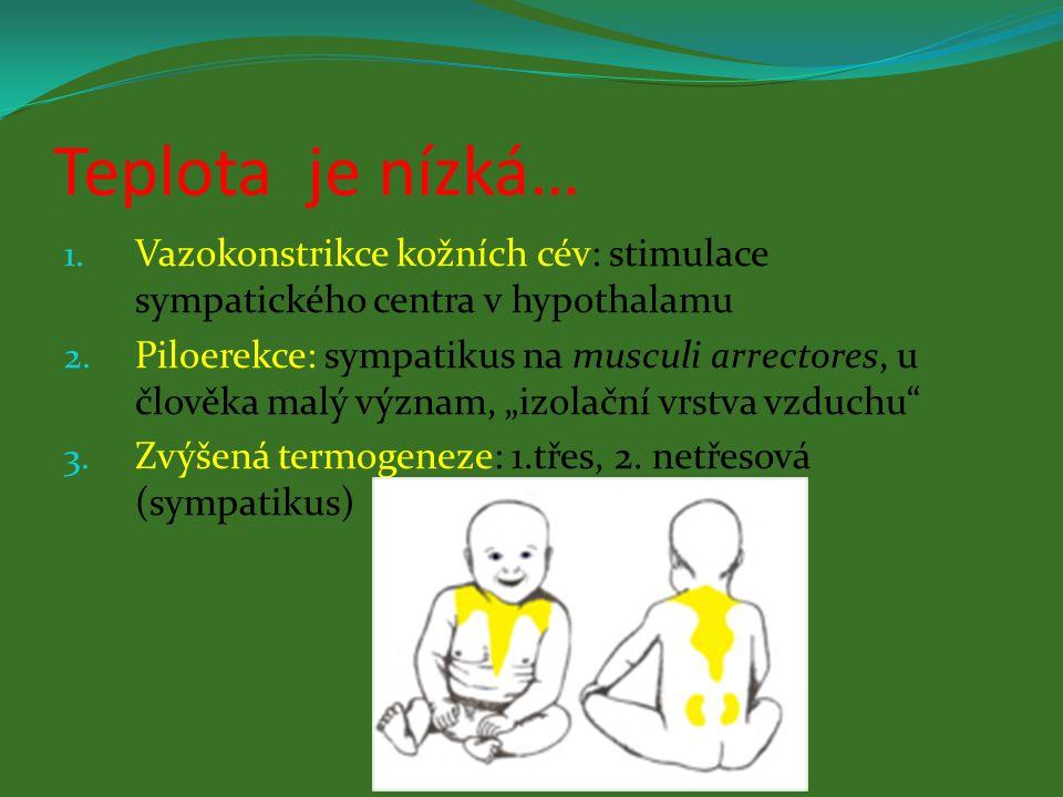 Teplota je nízká… 1. Vazokonstrikce kožních cév: stimulace sympatického centra v hypothalamu 2. Piloerekce: sympatikus na musculi arrectores, u člověk