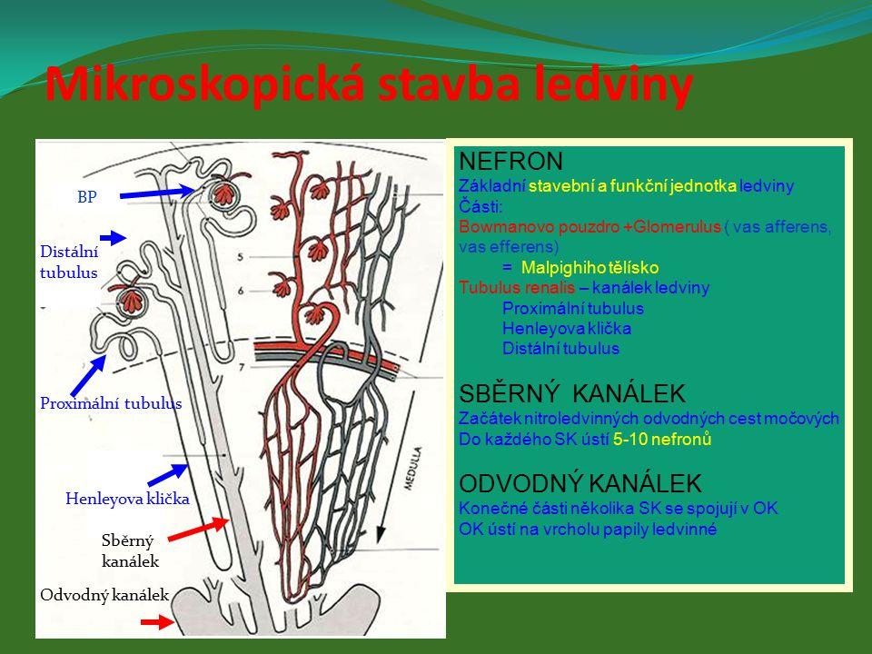 NEFRON Základní stavební a funkční jednotka ledviny Části: Bowmanovo pouzdro +Glomerulus ( vas afferens, vas efferens) = Malpighiho tělísko Tubulus re
