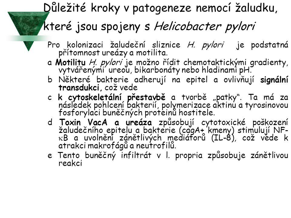 Důležité kroky v patogeneze nemocí žaludku, které jsou spojeny s Helicobacter pylori Pro kolonizaci žaludeční sliznice H.