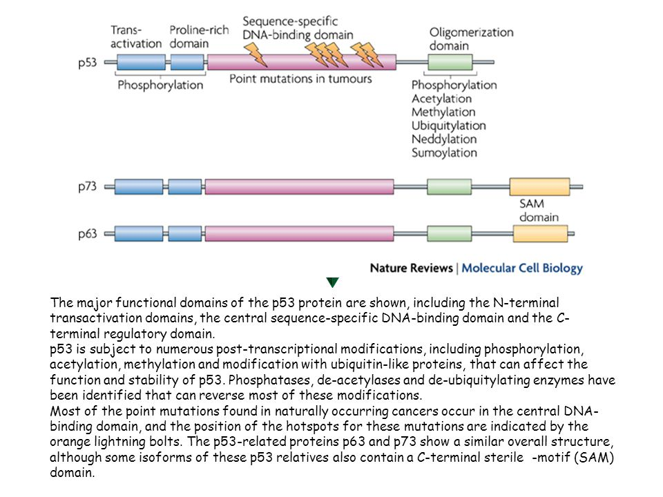 The major functional domains of the p53 protein are shown, including the N-terminal transactivation domains, the central sequence-specific DNA-binding domain and the C- terminal regulatory domain.