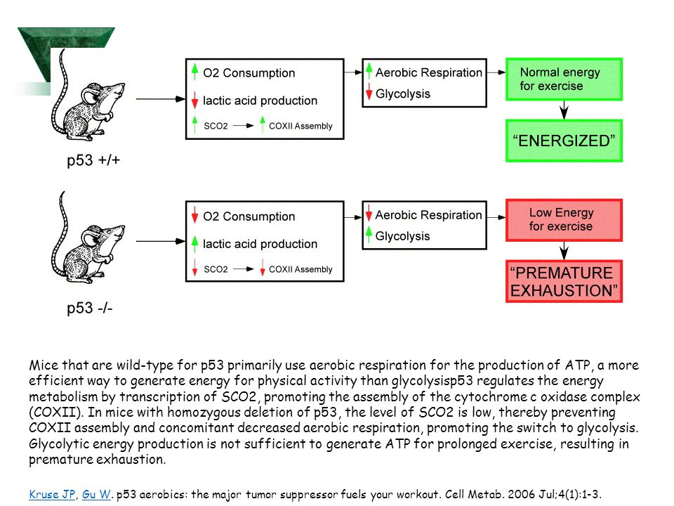 Mice that are wild-type for p53 primarily use aerobic respiration for the production of ATP, a more efficient way to generate energy for physical activity than glycolysisp53 regulates the energy metabolism by transcription of SCO2, promoting the assembly of the cytochrome c oxidase complex (COXII).