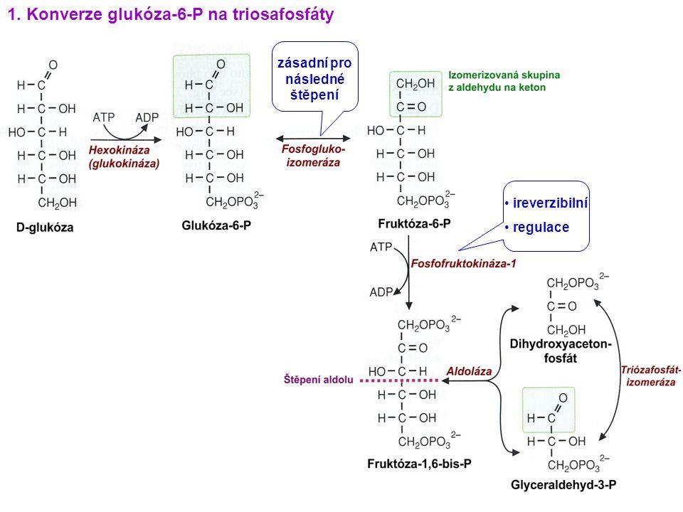 1. Konverze glukóza-6-P na triosafosfáty zásadní pro následné štěpení ireverzibilní regulace
