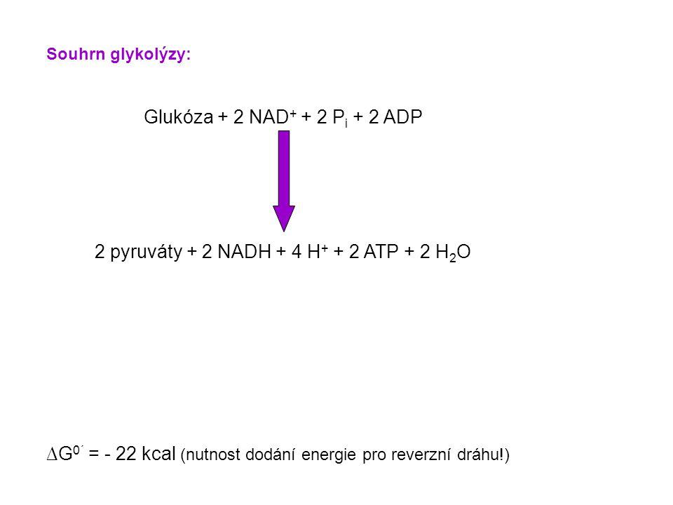 Souhrn glykolýzy: Glukóza + 2 NAD + + 2 P i + 2 ADP 2 pyruváty + 2 NADH + 4 H + + 2 ATP + 2 H 2 O ∆G 0´ = - 22 kcal (nutnost dodání energie pro reverzní dráhu!)