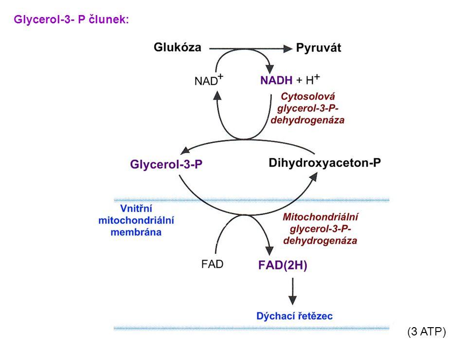 Glycerol-3- P člunek: (3 ATP)
