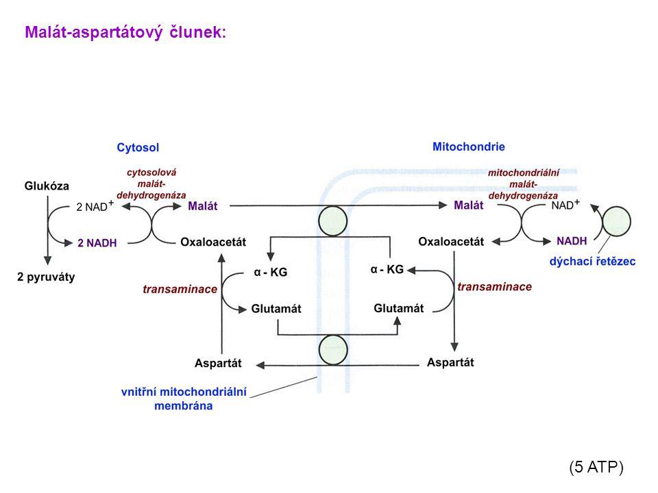 Malát-aspartátový člunek: (5 ATP)