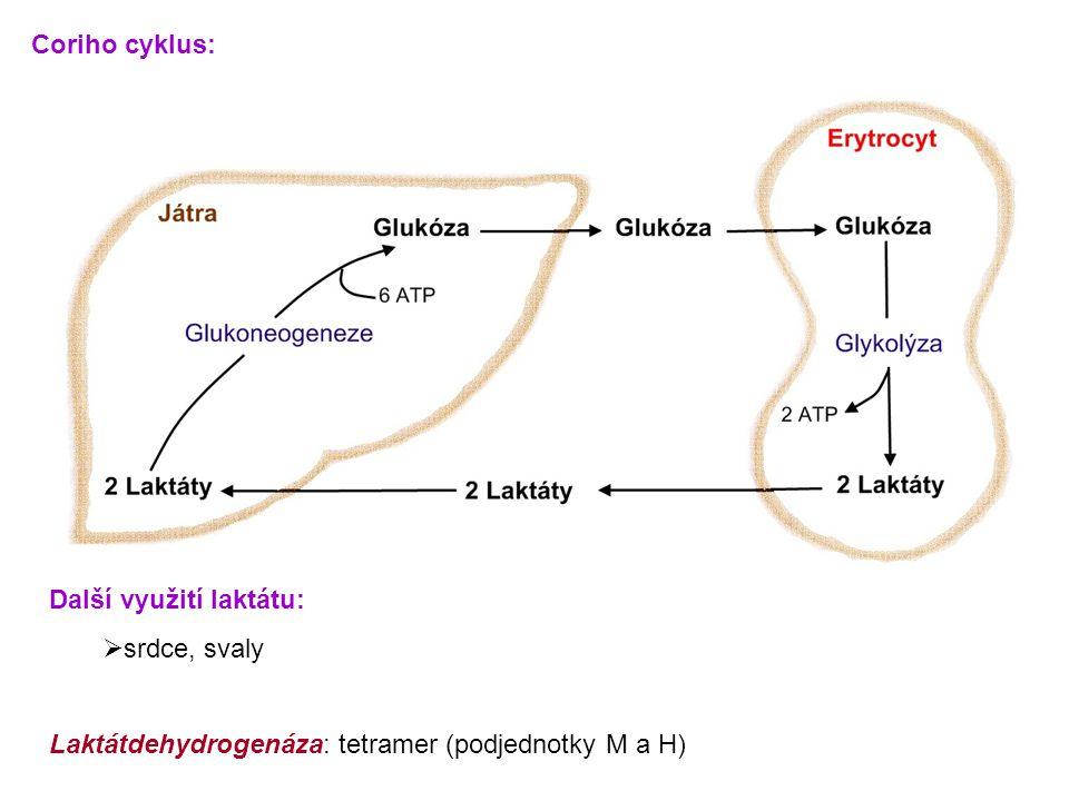 Coriho cyklus: Další využití laktátu:  srdce, svaly Laktátdehydrogenáza: tetramer (podjednotky M a H)