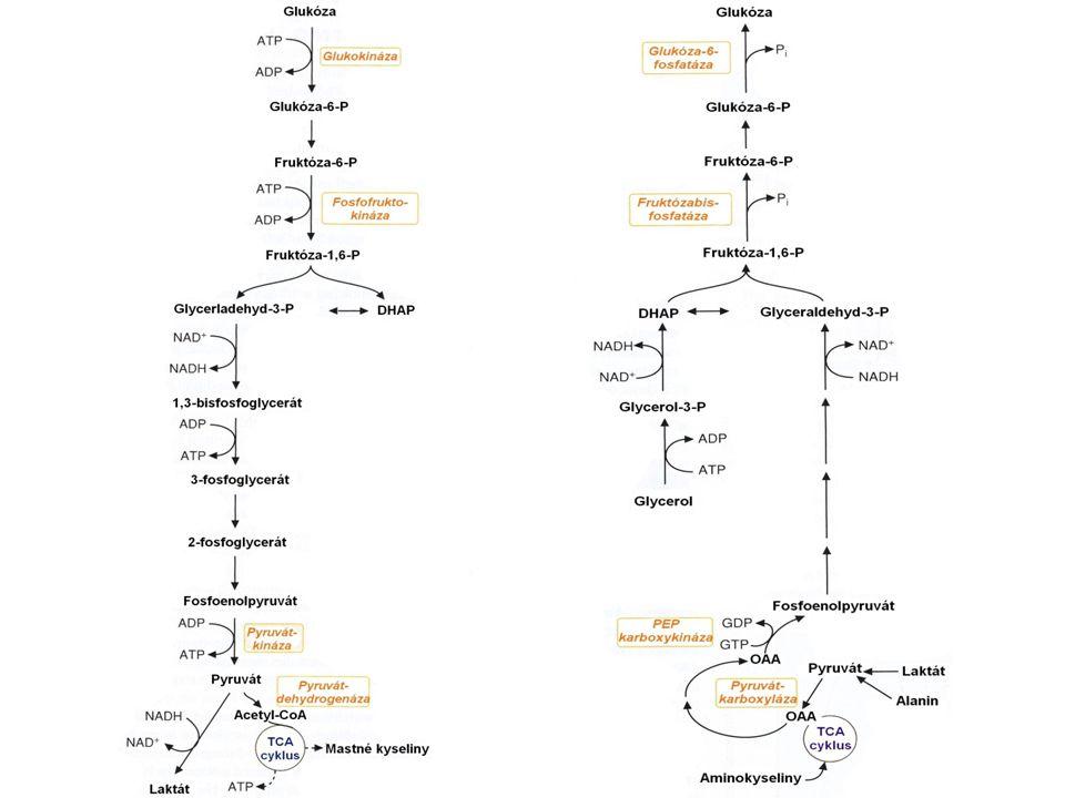 jaterní izoenzym- inhibován cAMP- dependentní proteinkinázou (inhibice glykolýzy během hladovění) Laktátová acidóza: nárůst poměru NADH/NAD + inhibice pyruvátdehydrogenázy