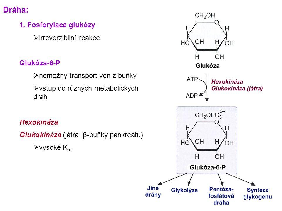 Konverze fosfoenolpyruvátu na glukózu 3.