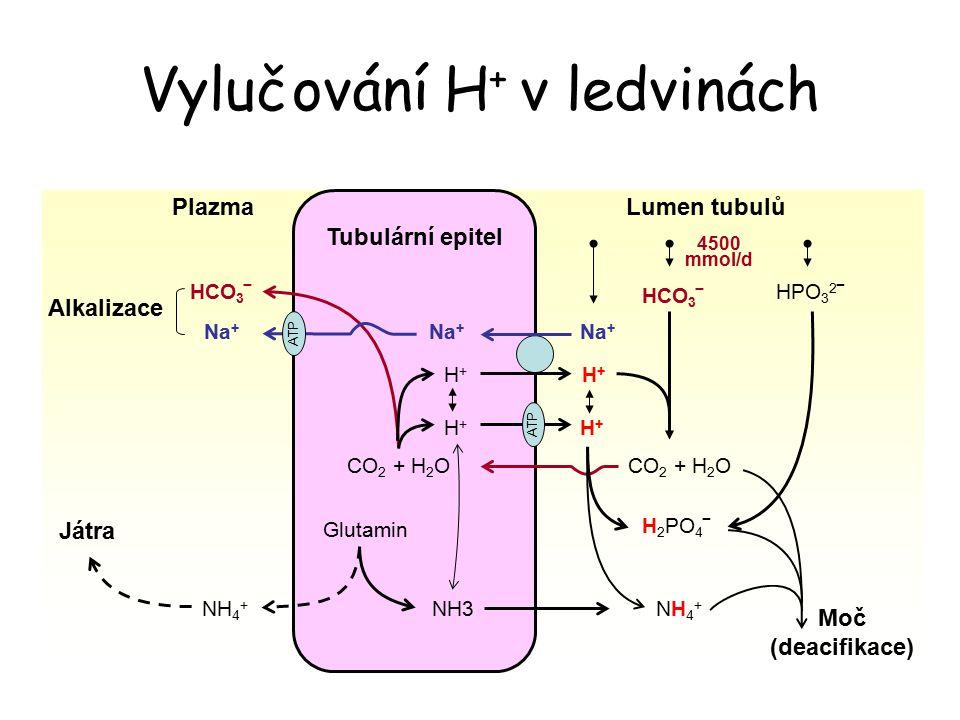 Vylučování H + v ledvinách NH4+NH4+ H 2 PO 4 ‾ HCO 3 ‾ Na + H+H+ H+H+ CO 2 + H 2 O HCO 3 ‾ NH3NH 4 + Glutamin CO 2 + H 2 O ATP H+H+ H+H+ Na + HPO 3 2 ‾ Tubulární epitel Lumen tubulůPlazma Na + ATP Játra Moč (deacifikace) Alkalizace 4500 mmol/d