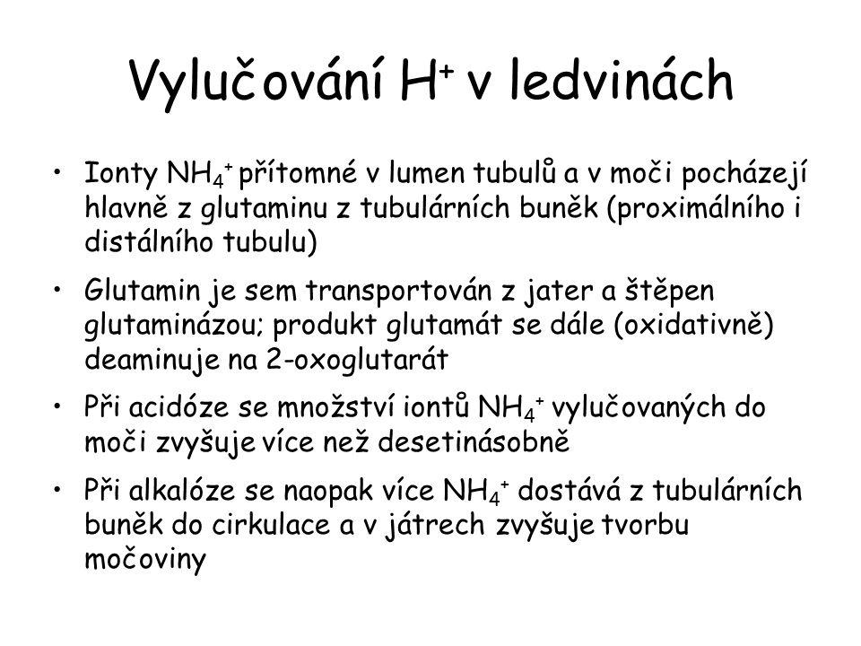 Vylučování H + v ledvinách Ionty NH 4 + přítomné v lumen tubulů a v moči pocházejí hlavně z glutaminu z tubulárních buněk (proximálního i distálního t