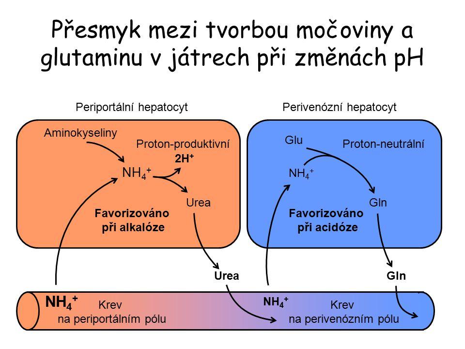 Aminokyseliny NH 4 + Krev na periportálním pólu NH 4 + Krev na perivenózním pólu Urea NH 4 + Glu Gln Urea Přesmyk mezi tvorbou močoviny a glutaminu v játrech při změnách pH Periportální hepatocytPerivenózní hepatocyt Favorizováno při alkalóze Favorizováno při acidóze 2H + Proton-produktivníProton-neutrální