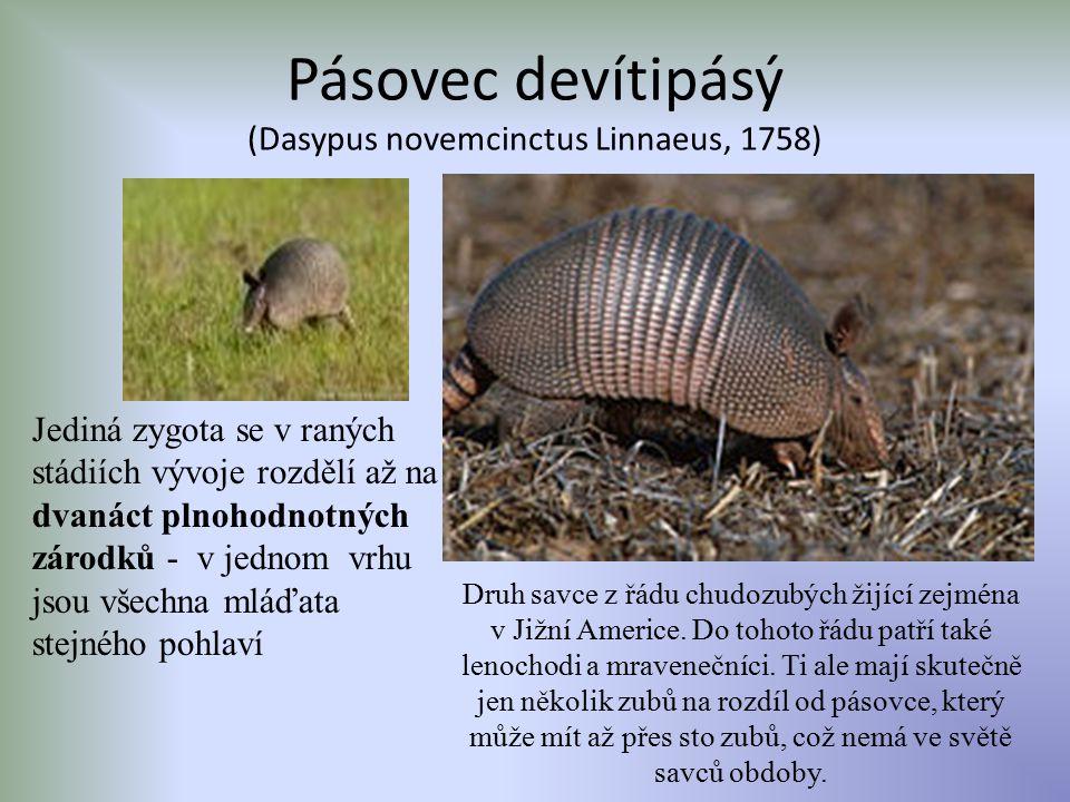Pásovec devítipásý (Dasypus novemcinctus Linnaeus, 1758) Jediná zygota se v raných stádiích vývoje rozdělí až na dvanáct plnohodnotných zárodků - v je