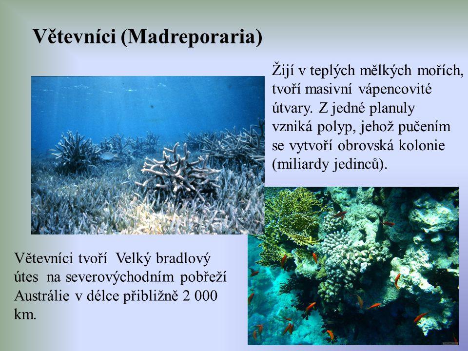 Větevníci (Madreporaria) Žijí v teplých mělkých mořích, tvoří masivní vápencovité útvary. Z jedné planuly vzniká polyp, jehož pučením se vytvoří obrov