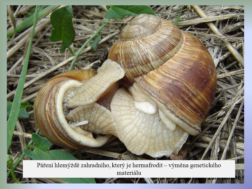 Páření hlemýždě zahradního Páření hlemýždě zahradního, který je hermafrodit – výměna genetického materiálu