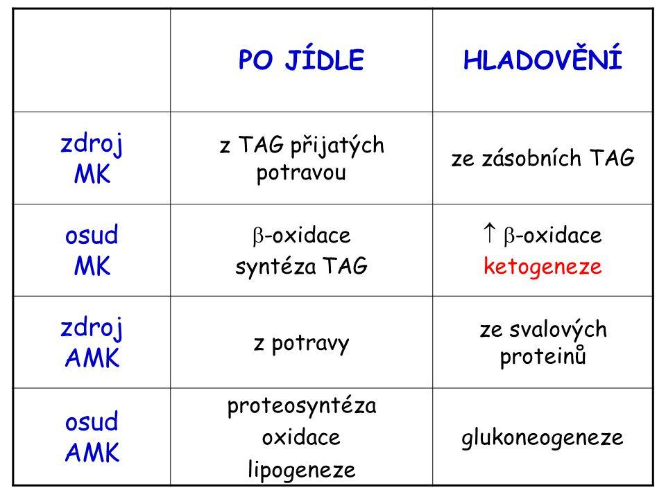 PO JÍDLEHLADOVĚNÍ zdroj MK z TAG přijatých potravou ze zásobních TAG osud MK  -oxidace syntéza TAG   -oxidace ketogeneze zdroj AMK z potravy ze sva