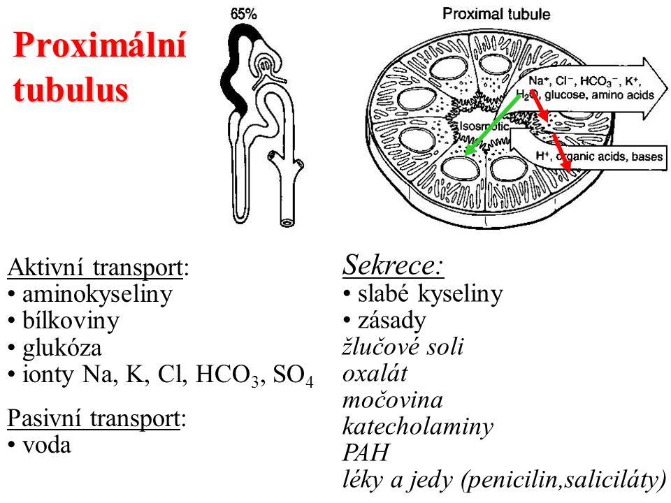 Proximální tubulus Aktivní transport: aminokyseliny bílkoviny glukóza ionty Na, K, Cl, HCO 3, SO 4 Pasivní transport: voda Sekrece: slabé kyseliny zás