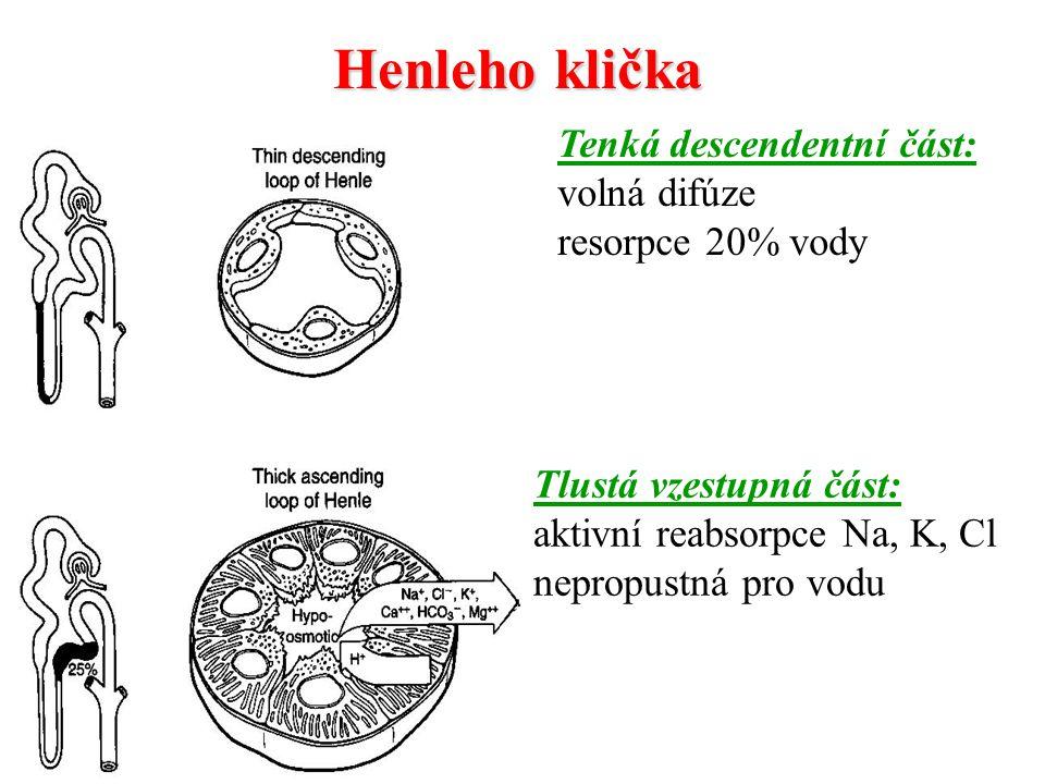 Henleho klička Tenká descendentní část: volná difúze resorpce 20% vody Tlustá vzestupná část: aktivní reabsorpce Na, K, Cl nepropustná pro vodu