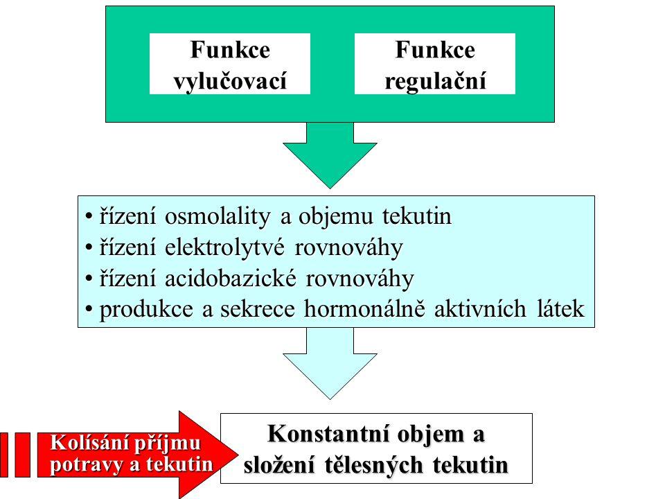 Distální tubuls Reabsorpce: ionty Na, K, Cl nepropustný pro vodu Hlavní buňky resorbce Na sekrece K Vmezeřené buňky reabsorpce HCO 3 sekrece H +