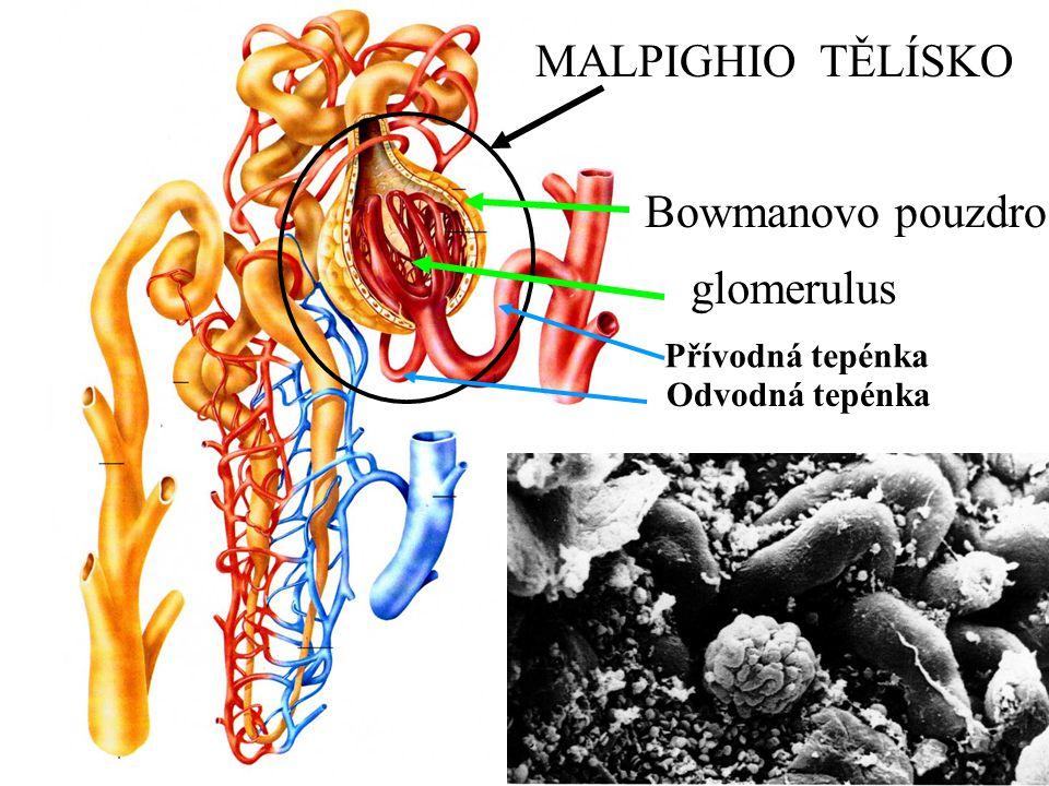 MALPIGHIO TĚLÍSKO Bowmanovo pouzdro glomerulus Přívodná tepénka Odvodná tepénka