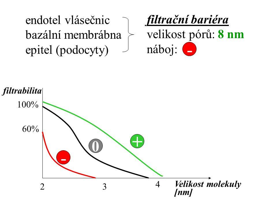endotel vlásečnic bazální membrábna epitel (podocyty) filtrační bariéra velikost pórů: 8 nm náboj: - - 0 + 23 4 Velikost molekuly [nm] filtrabilita 10