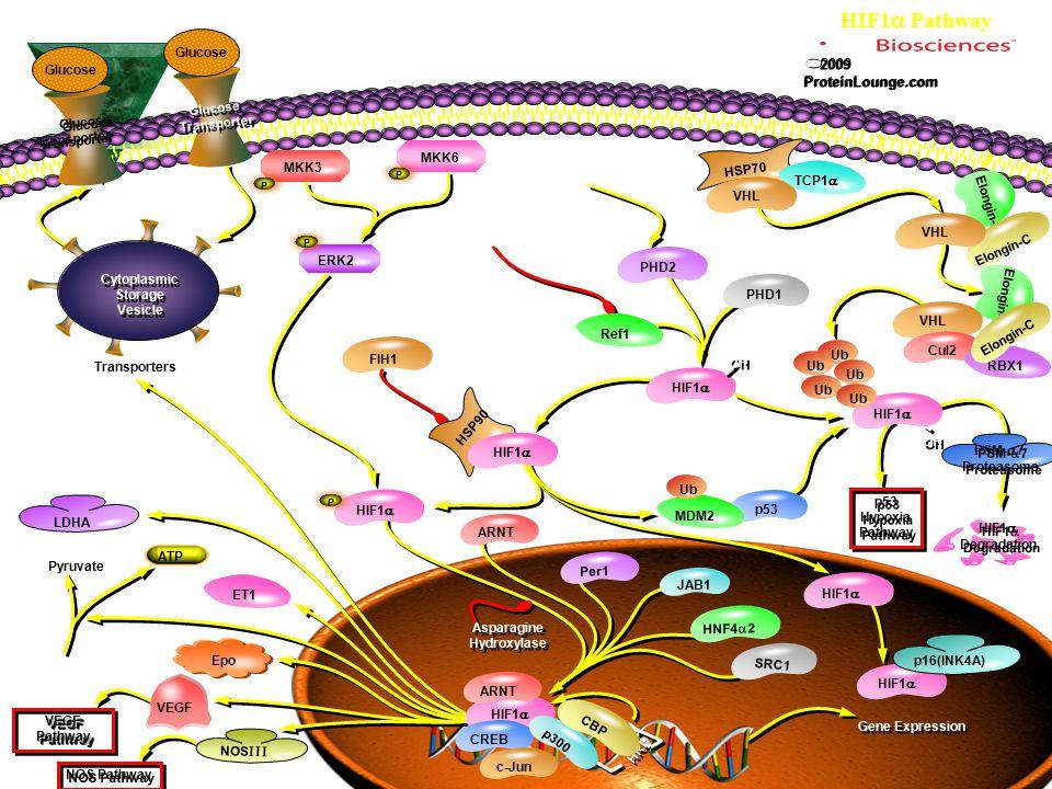 HSP70 HIF1  Pathway Elongin-B Elongin-C Elongin-B p53 MKK3 MKK6 ERK2 FIH1 Ref1 PHD2 PHD1 TCP1  HSP90 MDM2 Ub HIF1  Per1 JAB1 Ub VHL ARNT HNF4  2 S
