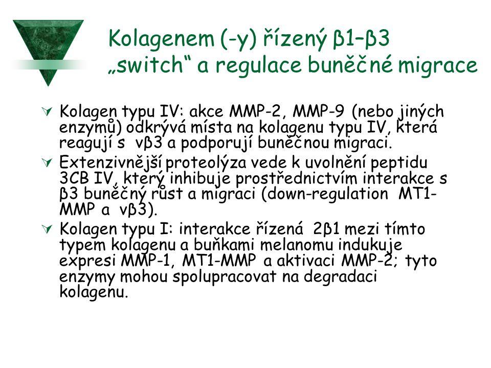 """Kolagenem (-y) řízený β1–β3 """"switch"""" a regulace buněčné migrace  Kolagen typu IV: akce MMP-2, MMP-9 (nebo jiných enzymů) odkrývá místa na kolagenu ty"""