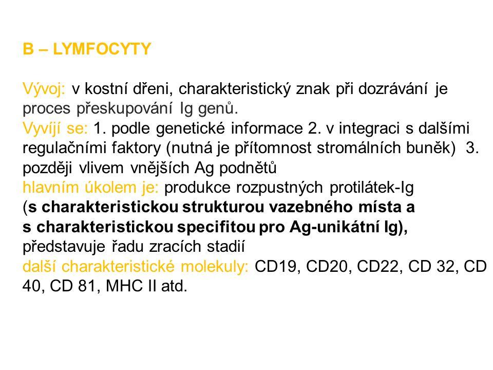 B – LYMFOCYTY Vývoj: v kostní dřeni, charakteristický znak při dozrávání je proces přeskupování Ig genů. Vyvíjí se: 1. podle genetické informace 2. v