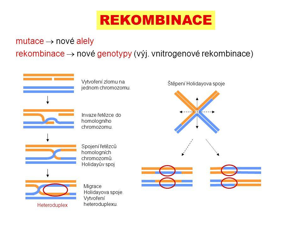 mutace  nové alely rekombinace  nové genotypy (výj. vnitrogenové rekombinace) REKOMBINACE Vytvoření zlomu na jednom chromozomu. Invaze řetězce do ho