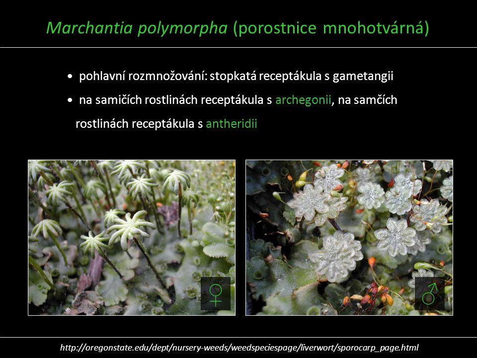 Marchantia polymorpha (porostnice mnohotvárná) pohlavní rozmnožování: stopkatá receptákula s gametangii na samičích rostlinách receptákula s archegoni