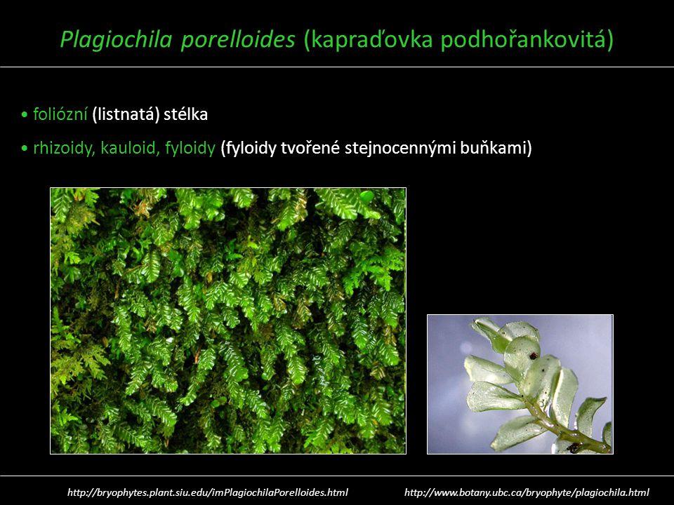 Plagiochila porelloides (kapraďovka podhořankovitá) foliózní (listnatá) stélka rhizoidy, kauloid, fyloidy (fyloidy tvořené stejnocennými buňkami) http