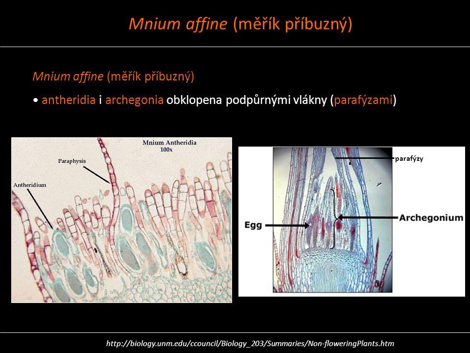Mnium affine (měřík příbuzný) antheridia i archegonia obklopena podpůrnými vlákny (parafýzami) parafýzy http://biology.unm.edu/ccouncil/Biology_203/Su