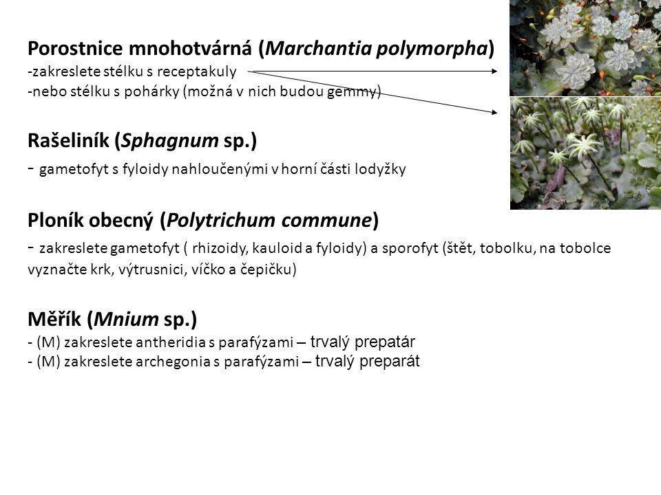 Porostnice mnohotvárná (Marchantia polymorpha) -zakreslete stélku s receptakuly -nebo stélku s pohárky (možná v nich budou gemmy) Rašeliník (Sphagnum