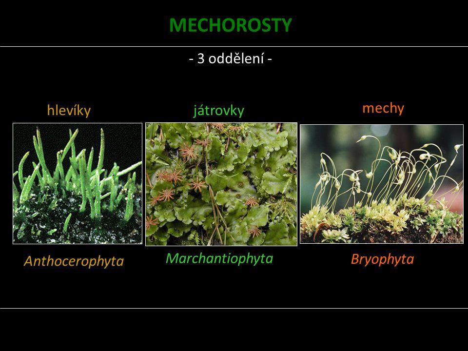 hlevíky Anthocerophyta játrovky Marchantiophyta mechy Bryophyta MECHOROSTY - 3 oddělení -