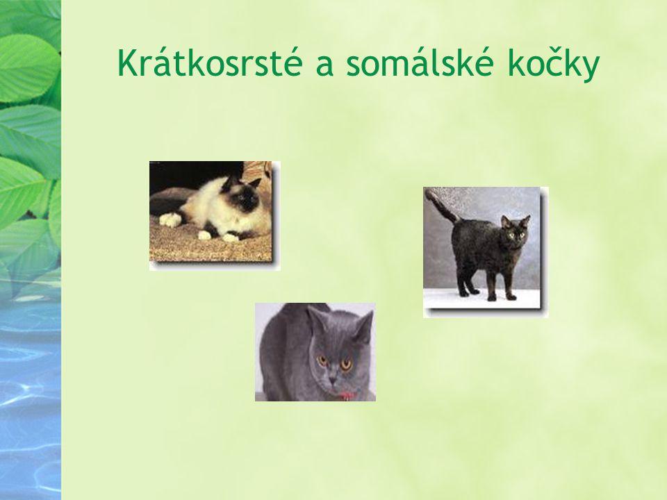 Krátkosrsté a somálské kočky